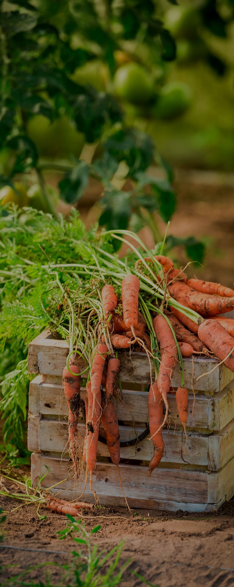 zanahorias2